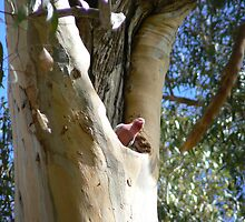 Galah in Ghost Gum Trunk by Nick Galliford