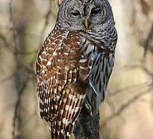 Barred Owl by photosbyjoe
