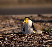 Masked Lapwing by J Harland