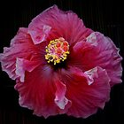 Red Ballerina Hibiscus by Sue Cotton