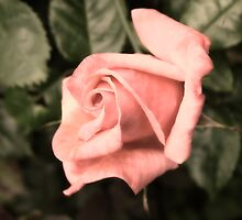 Perfect Peach Rose by BizziLizzy