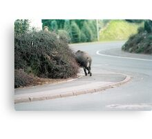 Wild Hog Canvas Print