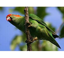 Musk lorikeet Photographic Print