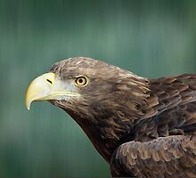 White-tailed Sea Eagle by M.S. Photography/Art
