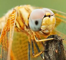 Dragonfly close-up by sedeer