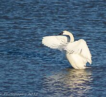 Swan Lake by Misty River Photography