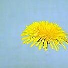 Dandelion by julie08