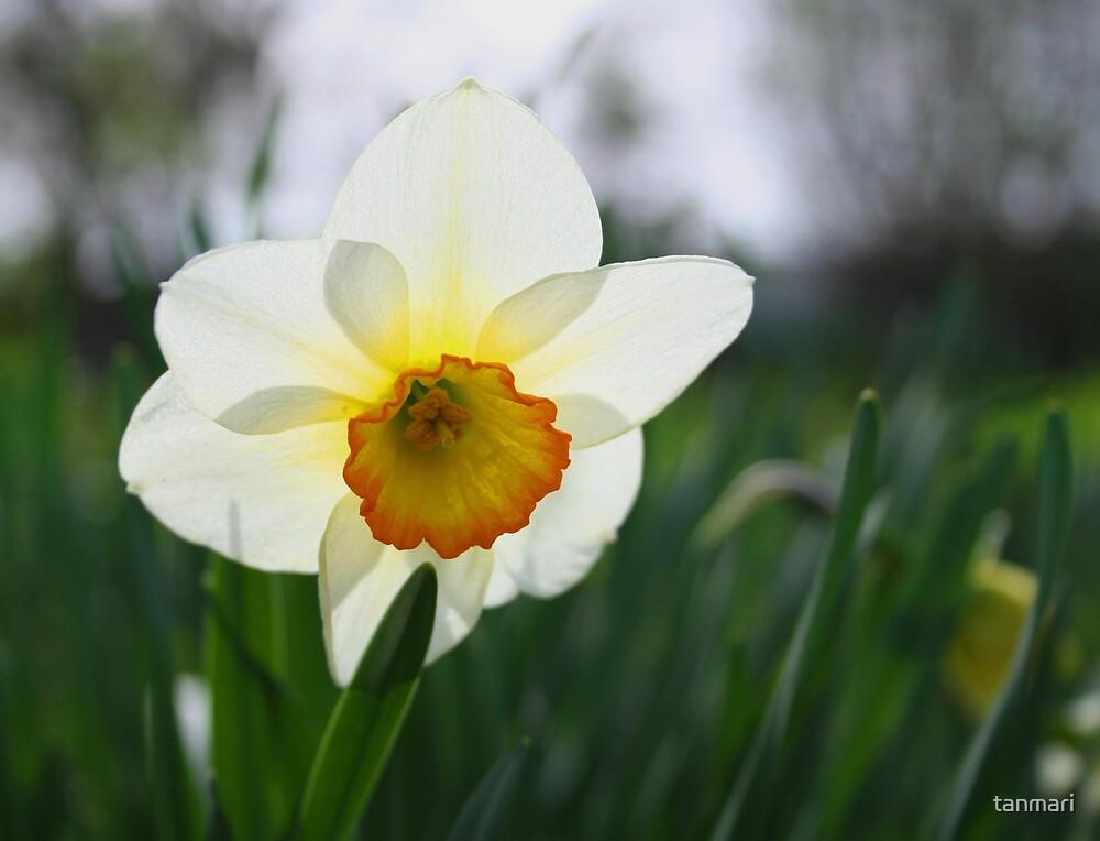 Daffodil by tanmari
