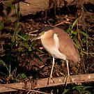 Nankeen Night Heron, Yellow Water, Kakadu National Park by Erik Schlogl
