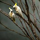 Cockatoos on a foggy morning by Jaxybelle