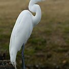 Great White Egret by Bonnie T.  Barry
