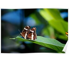Butterflies on a leaf A Poster