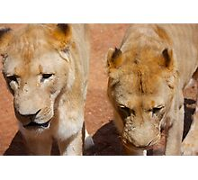 Lionesses B Photographic Print