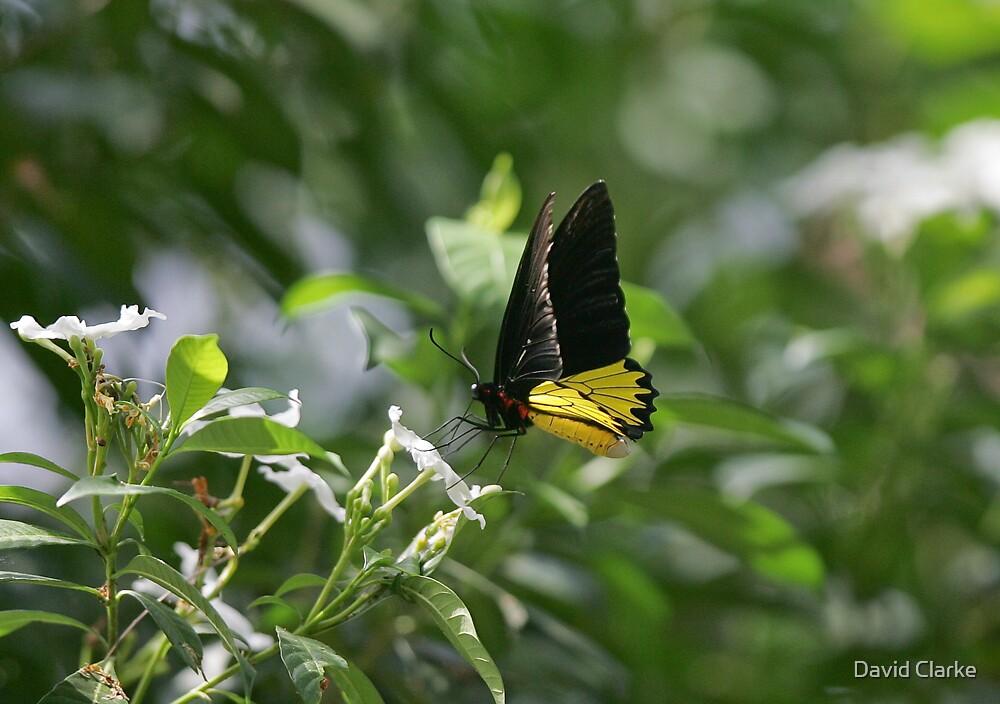 Butterfly 3 by David Clarke