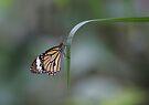 Butterfly 4 by David Clarke