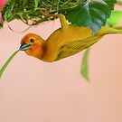 Golden Palm Weaver 3 by David Clarke