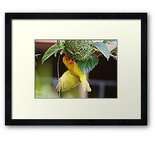 Golden Palm Weaver 5 Framed Print