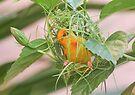 Golden Palm Weaver 8 by David Clarke