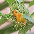 Golden Palm Weaver 8 by David Clarke