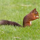 Red Squirrel 1 by David Clarke