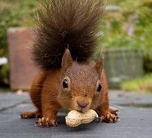 Red Squirrel 2 by David Clarke