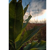 Backlit Leaves (Milkweed) Photographic Print