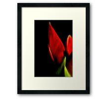 Amaryllis Framed Print