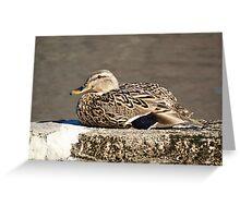 Female Mallard hen sunning herself on the Concord River Greeting Card