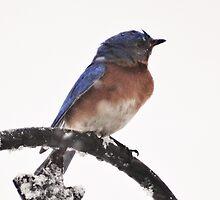 Eastern Bluebird in Snowfall by riverlady