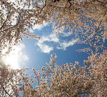 Cherry Blossom @ UW Campus by fangshangwei