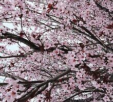 Cherry Blossom Serenade by Amber Elizabeth Lamoreaux