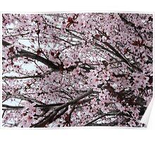 Cherry Blossom Serenade Poster