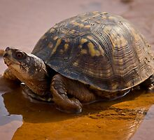Pond Tortoise, HD Photograph by tshirtdesign