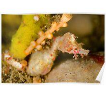 Male Sydney Pygmy Pipehorse - Idiotropiscis lumnitzeri Poster