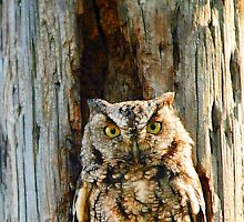 Screech-Owl by George  Link