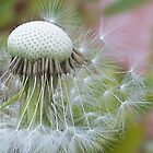 Windblown Dandelion   by Shaina Lunde