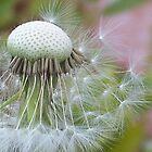 Windblown Dandelion   by Shaina Lunde