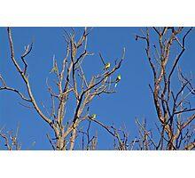 Regent Parrots Photographic Print