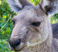 Wallaby face by bunyipdesigns