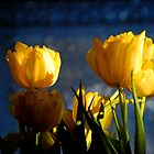 Yellow Tulips 0007xx by DavidClements