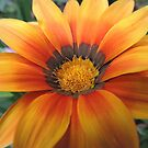 Glowing Orange Gazania by Marilyn Harris