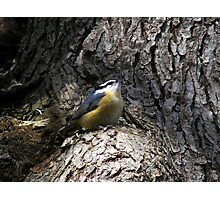 The Red-Breasted Nuthatch Photographic Print