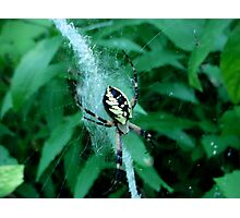 Golden Garden Spider Photographic Print