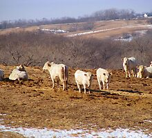Have You Ever Seen A White Cow? by Linda Miller Gesualdo