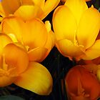 First crocus of 2009 by LudaNayvelt