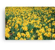 Field of Daffodils  Canvas Print