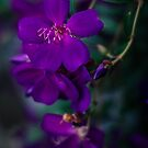 Tibouchina by yolanda