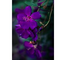 Tibouchina Photographic Print
