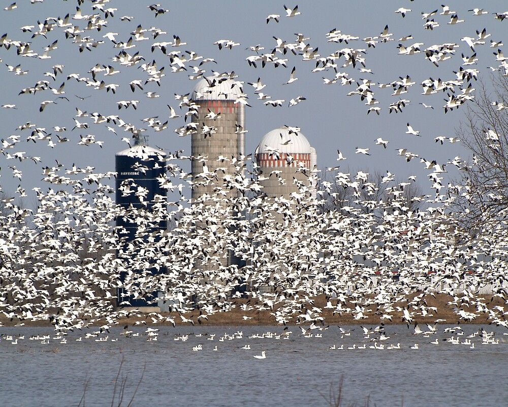 With 50,000 Snow Geese, Can You See The Farm by DigitallyStill