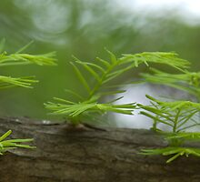 Cypress by Maureen Jochetz